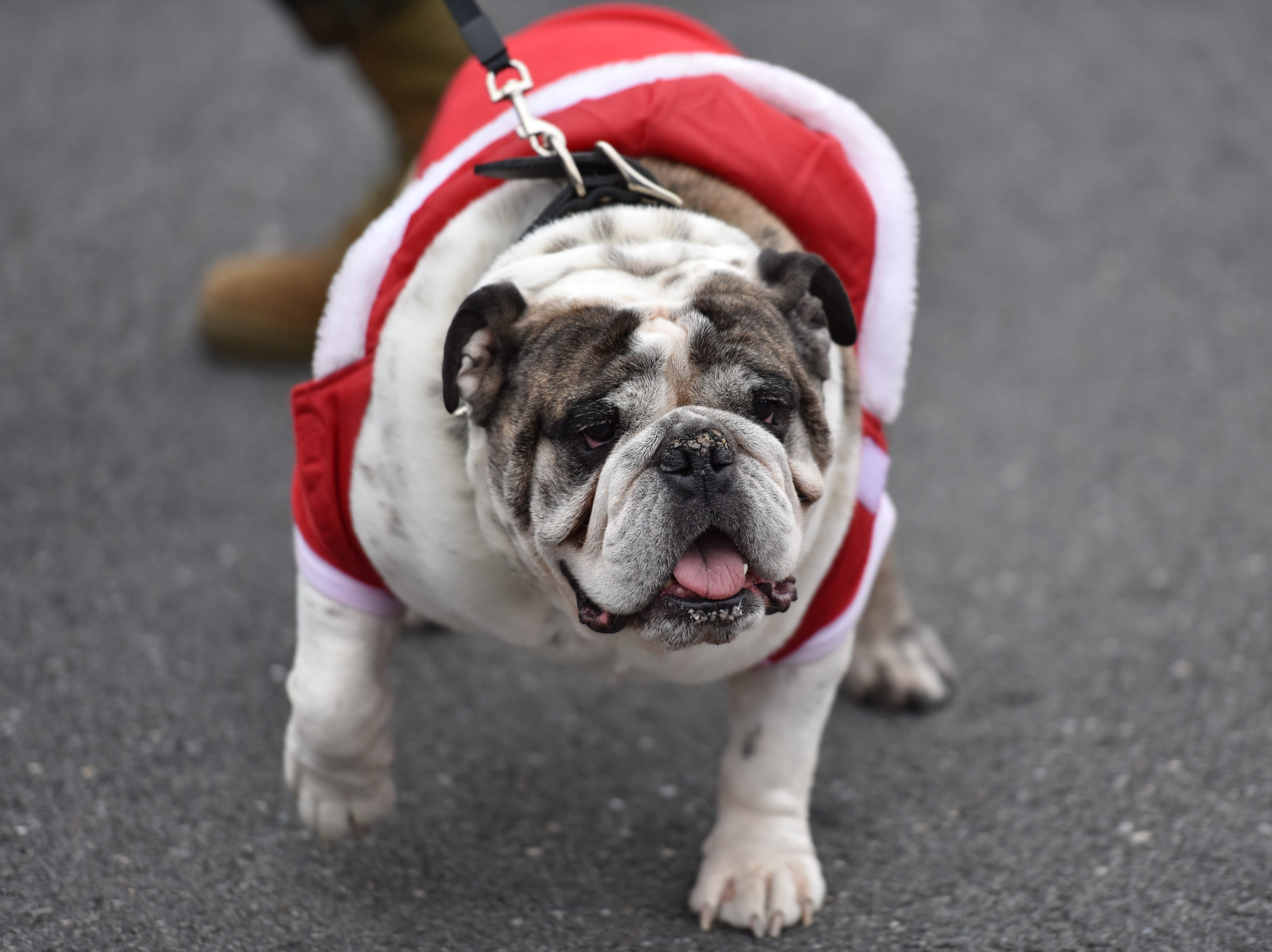 A dog walks  with the Snow Hill High School JROTC at the Ocean City Chrsitmas parade on Saturday, Dec. 1, 2018.