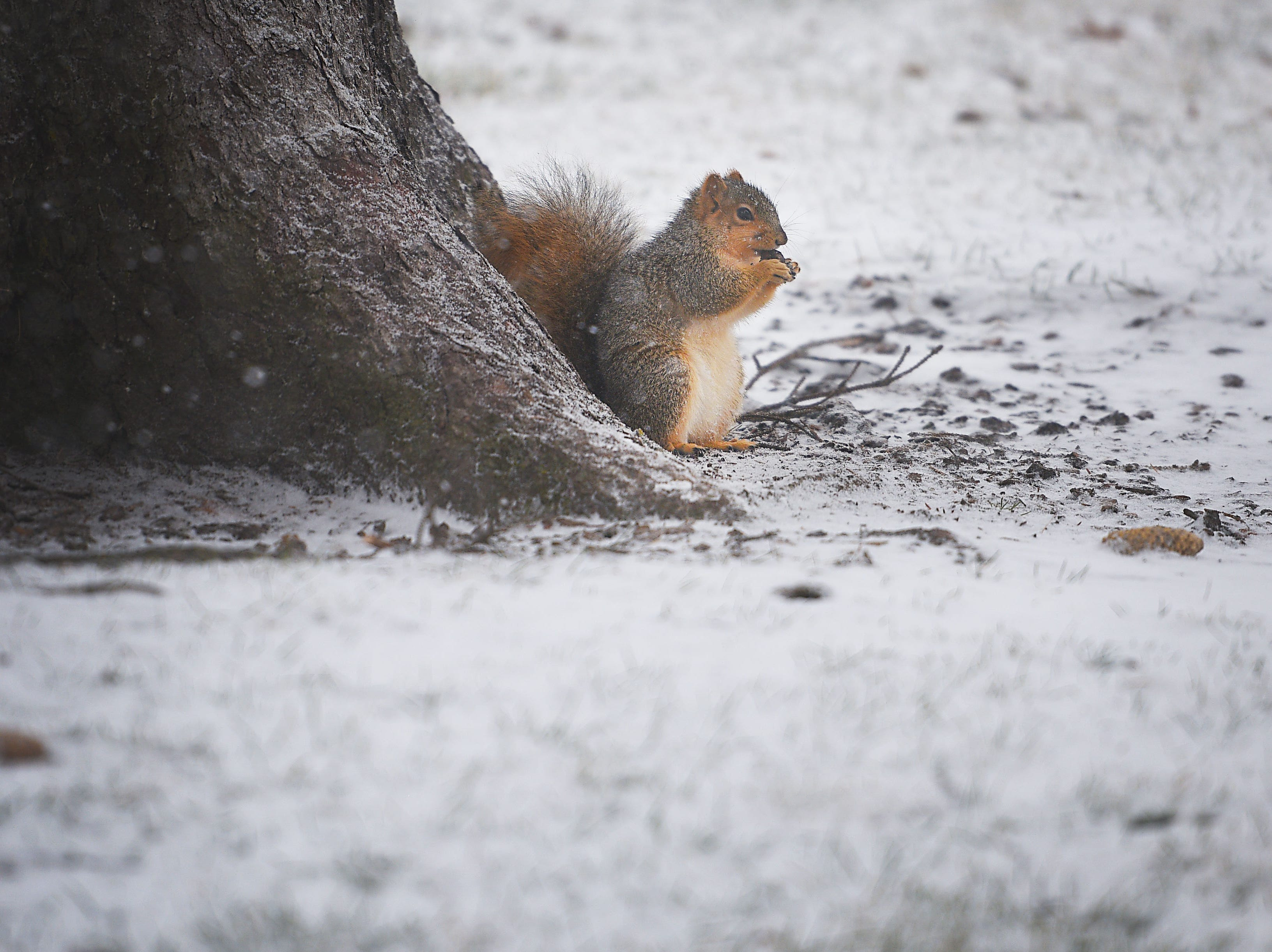 A squirrel eats a nut under a tree at McKennan Park on the first snowfall of December, Saturday, Dec. 1, in Sioux Falls.