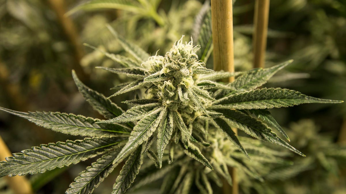 Marijuana legalization: Eatontown could allow recreational weed stores