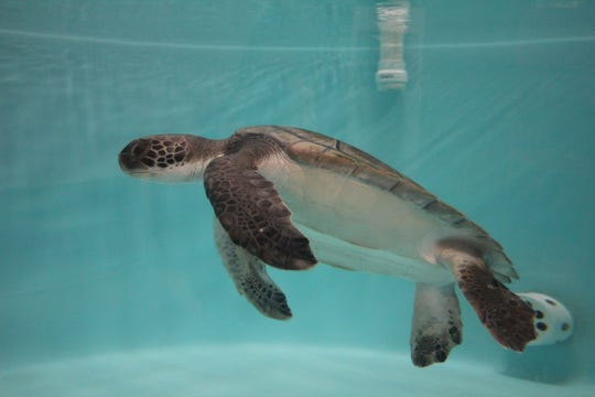 Eco Ed, a rehabilitating sea turtle, swimming in a tank at Sea Turtle Recovery, a nonprofit that cares for injured or sick sea turtles.