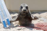 A seal was spotted on the beach in Belmar. But before you get too excited, the Marine Mammal Stranding Center has tips for encounters with seals.