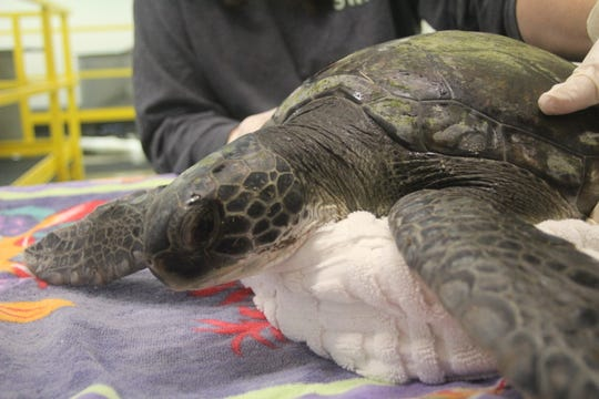 Eco Ed, a cold-stunned green sea turtle,  during his initial exam at Sea Turtle Recovery facility in Turtle Back Zoo in Essex County.