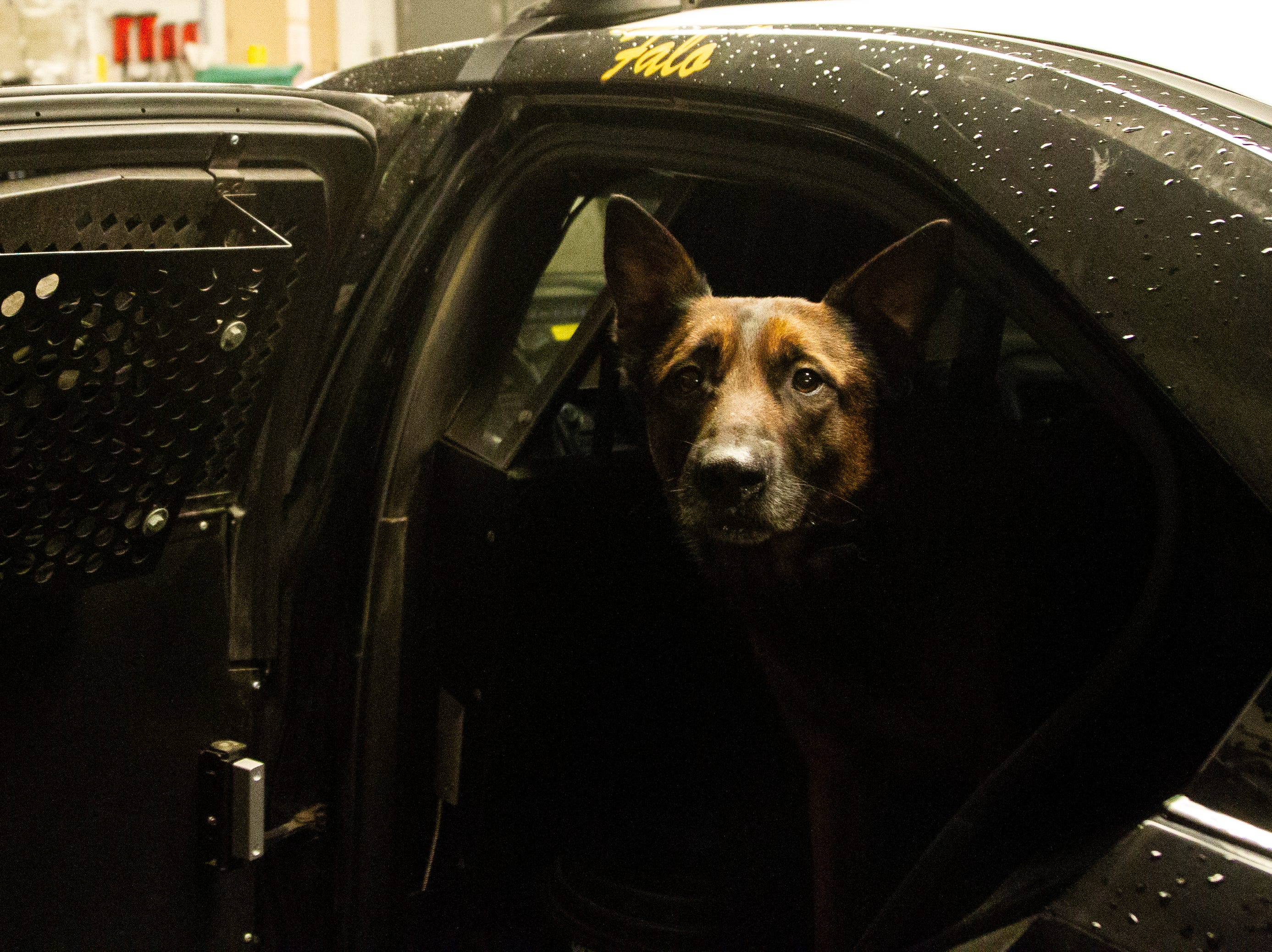 K9 Falo, an explosive and detection dog, sits in the back seat of Officer Jackie Anderson's car on Saturday, Dec. 1, 2018, at the University of Iowa Police Department at the Old Capitol Town Center in Iowa City.