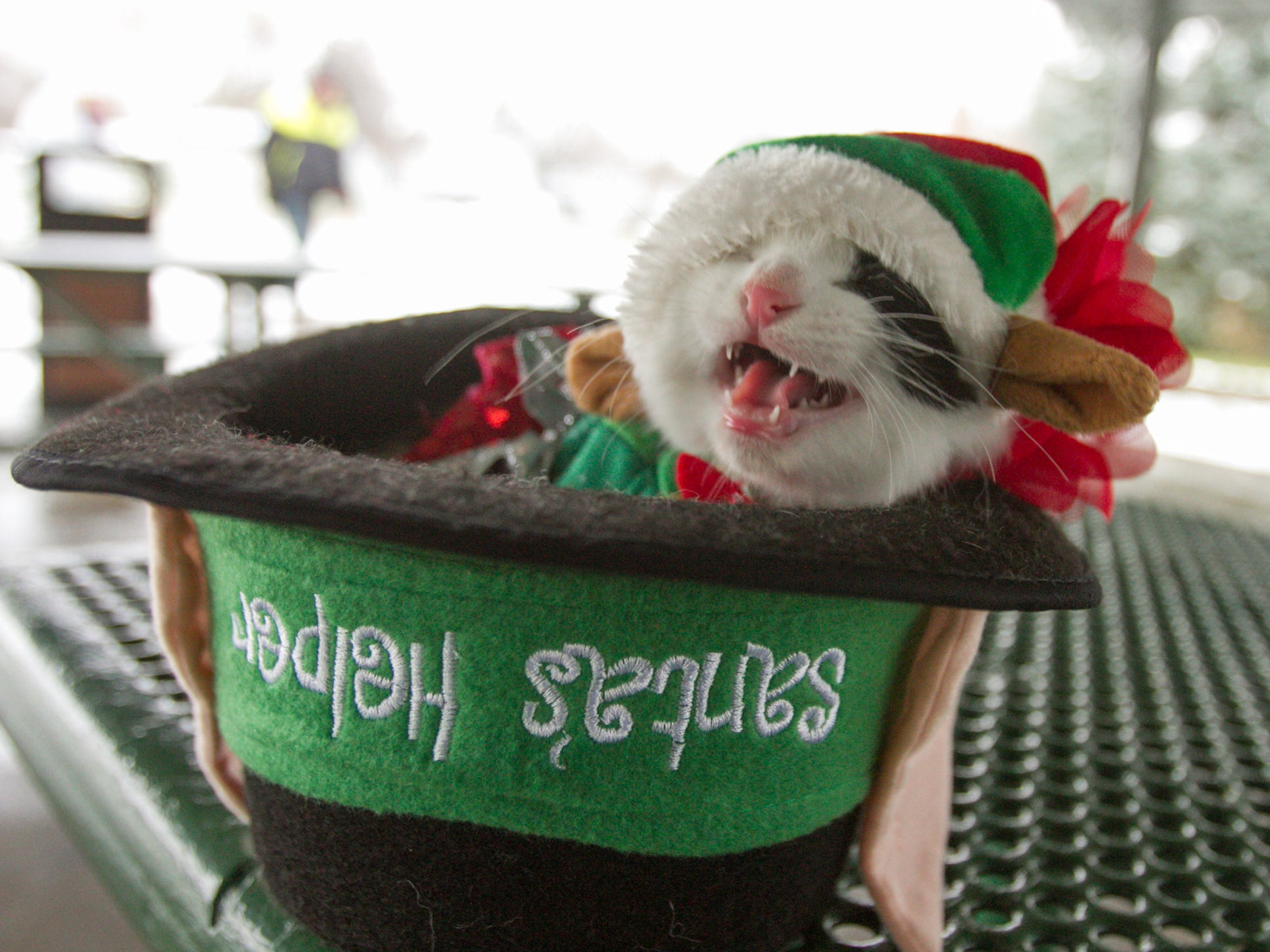 Reeses, an 11-week-old kitten, doesn't appear to be in the spirit of Christmas for the pet parade in the Christmas in the 'Ville festivities Saturday, Dec. 1, 2018.