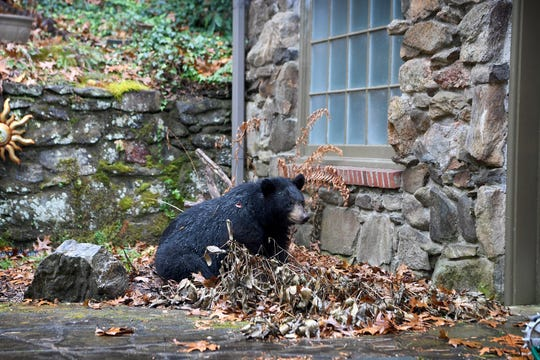 A black bear settles down for a nap on Len Brinson's back patio on Nov. 30, 2018. The bear made itself a spot to sleep and Brinson feared it would try to hibernate in his yard. He was eventually able to get the bear to leave by shining a floodlight overnight.