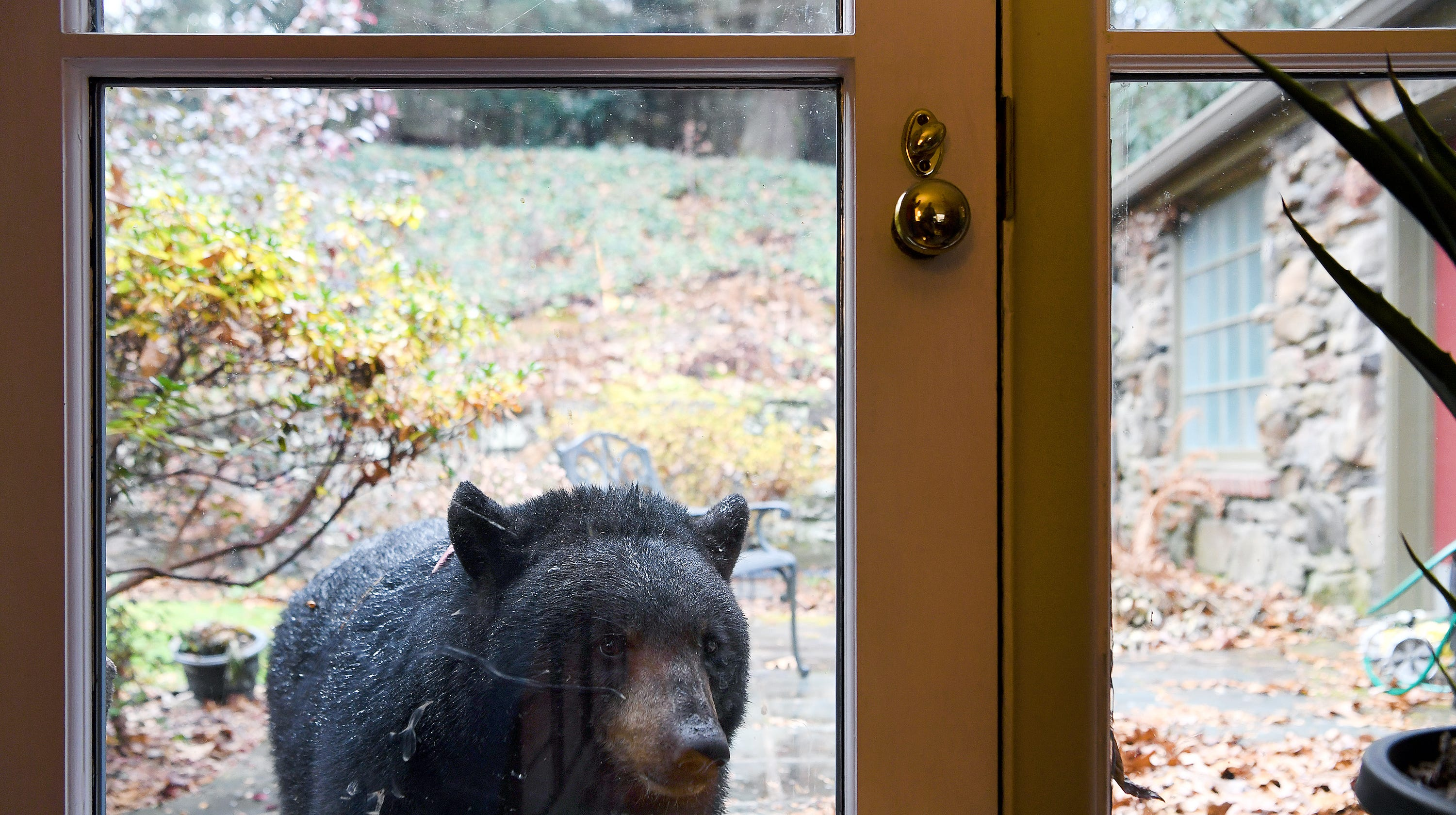 Asheville man learns what to do when black bear builds den in the yard