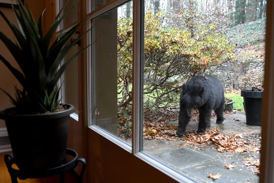 A black bear ambles around on Len Brinson's back patio on Nov. 30, 2018. The bear made itself a spot to sleep and Brinson feared it would try to hibernate in his yard. He was eventually able to get the bear to leave by shining a floodlight overnight.