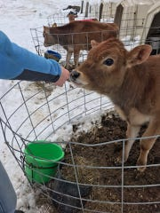 Amy Richardson reaches out to a young cow on the Richardson Family Farm, Nov. 30, 2018.