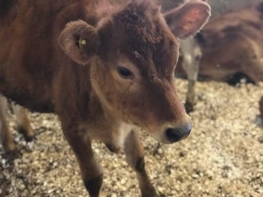 A young cow on the Richardson Family Farm is pictured on Nov. 30, 2018.