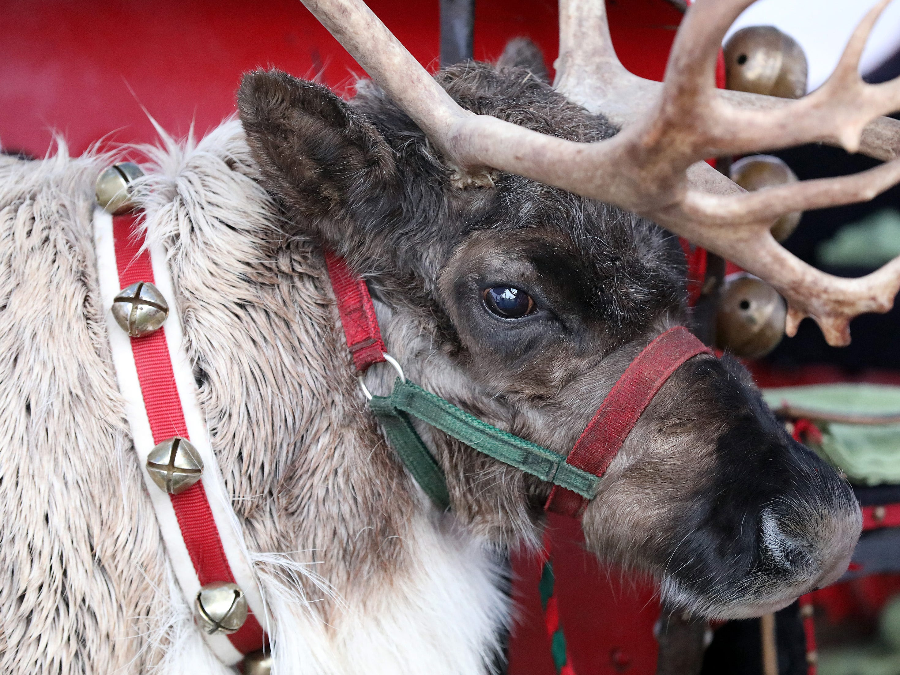 Rudy the Reindeer checks out all the humans attending UCAN's third annual Light Up Urbandale on Sunday, Dec. 2, 2018 at Lions Park in Urbandale. Holiday festivities included a visit from Santa, crafts, goodies, official tree lighting ceremony, live reindeer and entertainment.