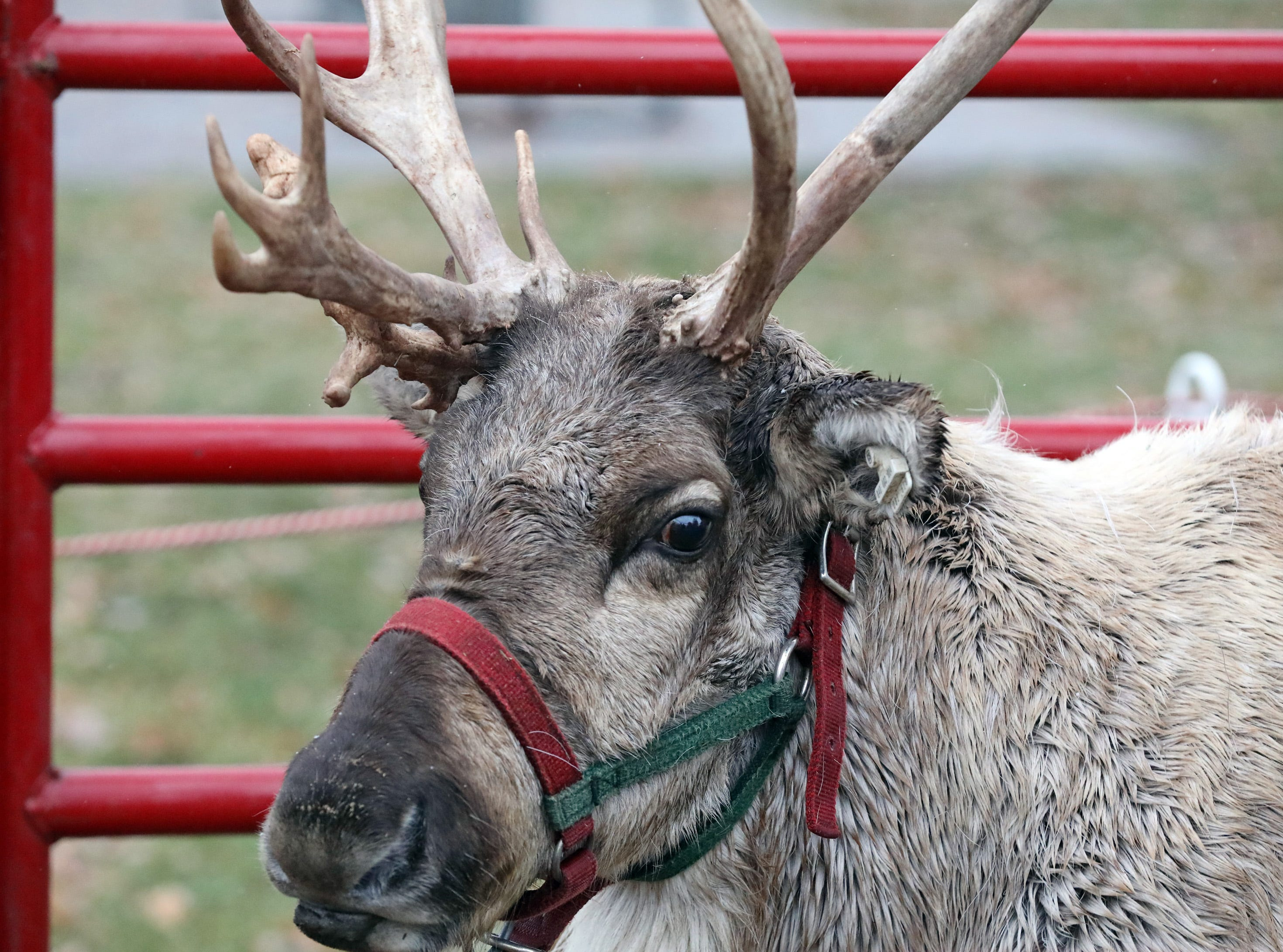Woody the Reindeer waits for his turn to meet the families attending UCAN's  third annual Light Up Urbandale on Sunday, Dec. 2, 2018 at Lions Park in Urbandale. Holiday festivities included a visit from Santa, crafts, goodies, official tree lighting ceremony, live reindeer and entertainment.