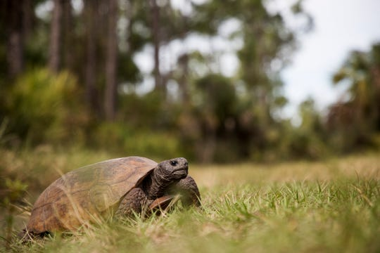 A gopher tortoise feeds on a trail at the Corkscrew Regional Ecosystem Watershed on Friday morning.