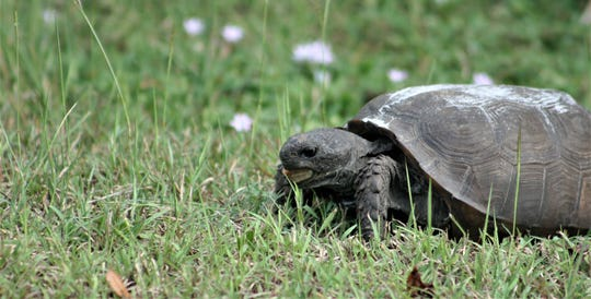 A gopher tortoise in Alva, Florida