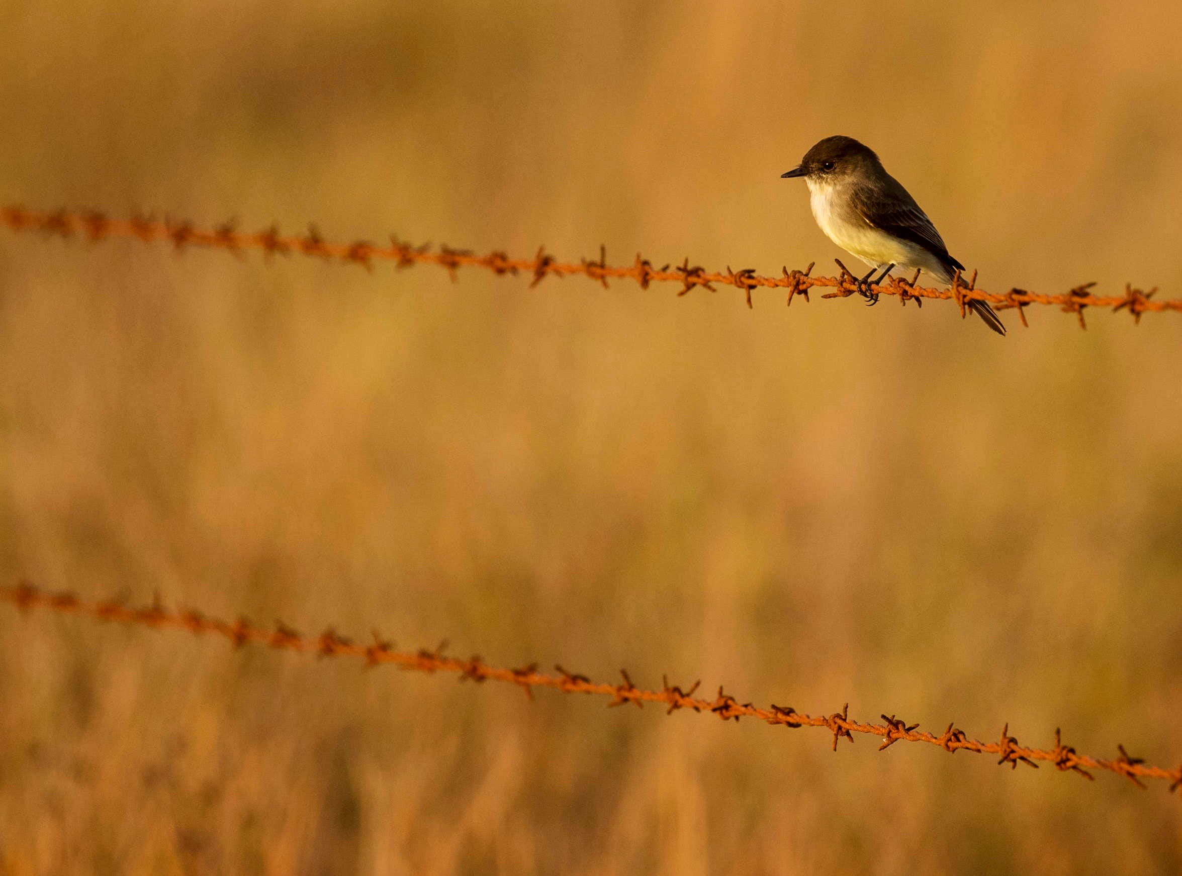 An eastern phoebe alights on a fence line at Corkscrew Regional Ecosystem Watershed.