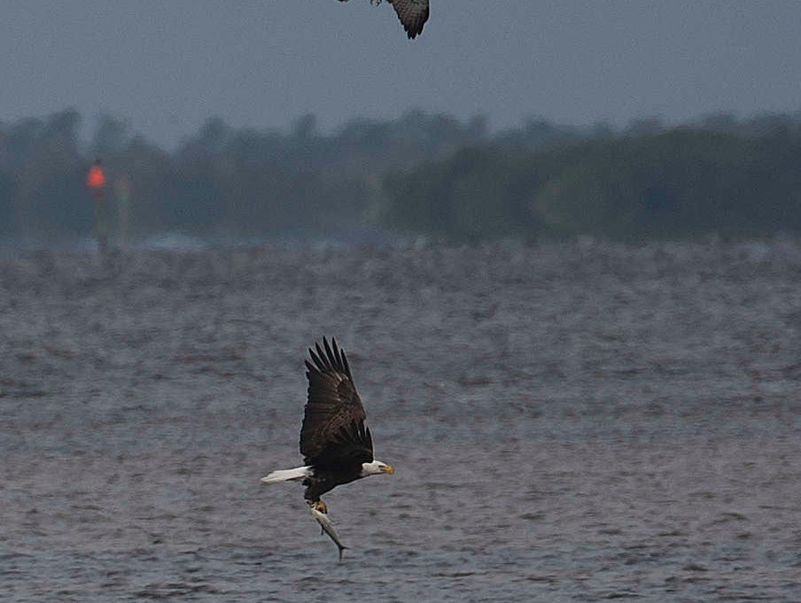 An osprey and a bald eagle fight over a meal in Pine Island.