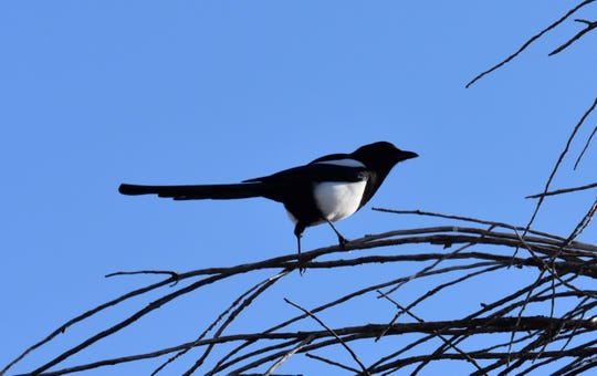 Magpies are year-round residents of the area.