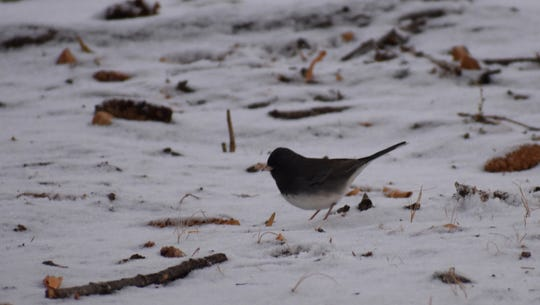 Dark eyed junco often are spotted in the area during winter.