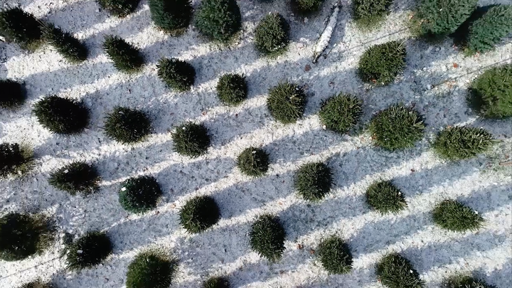 Bird's-eye view of Christmas trees