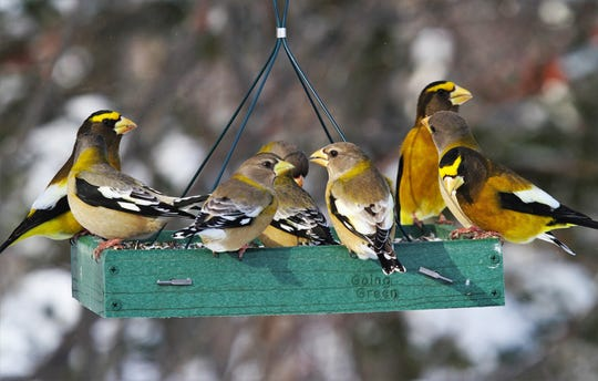 Evening grosbeaks are on the move this year. Attract them to your feeders with black oil sunflower seeds.