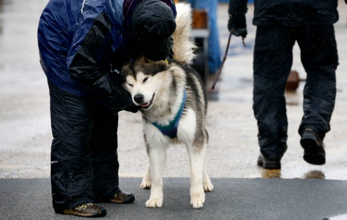 Wilson gets a bit of encouragement before pulling a sled loaded with 800 pounds of weight during an Alaskan Malamute dog sled pull at Bucky's Fine Meats and Sausage as part of Mukwonago 26th Midnight Magic on Dec. 1. Rain and cold wind dampened many of the the day's outdoor activities.