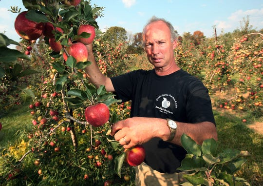 Sun High Orchards manager Phil Green in his Randolph apple orchard. He's been working in apple orchards since he was 7 years old. Bob Karp/Staff photo