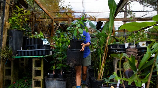 Naples Botanical Garden nursery manager Andrea Grace takes care of several seedlings and plants that were transported from Puerto Rico to Naples Botanical Garden during Hurricane Maria.
