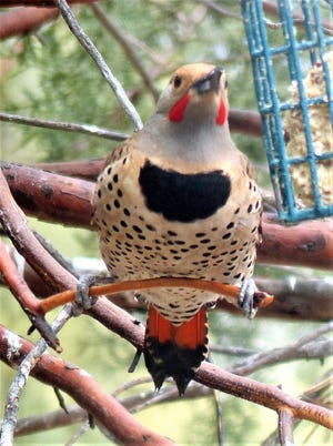 A northern flicker shows off his rich markings. Bird watchers may catch a glimpse of one during a Sept. 14 field trip of the Lincoln County Bird Club.