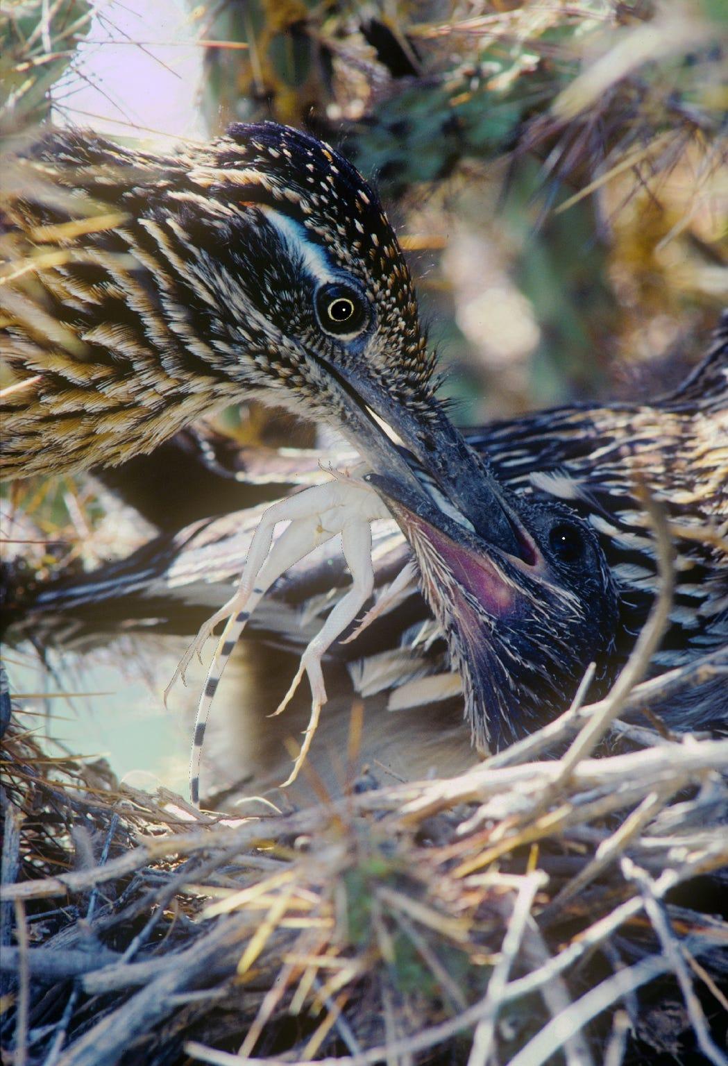 A parent roadrunner feeding a lizard to a chick