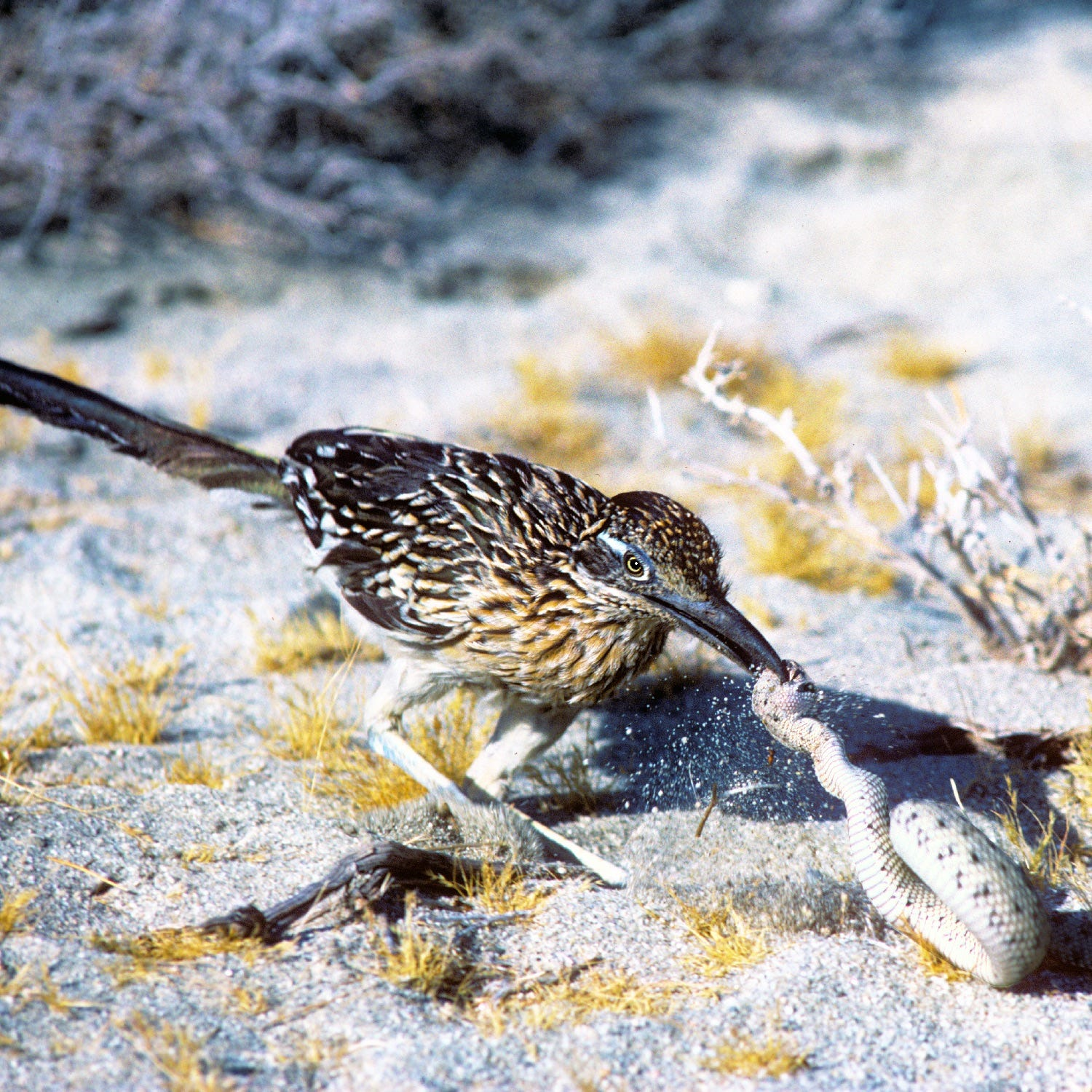 Why do roadrunners disappear from the desert each winter? This ecologist has a guess