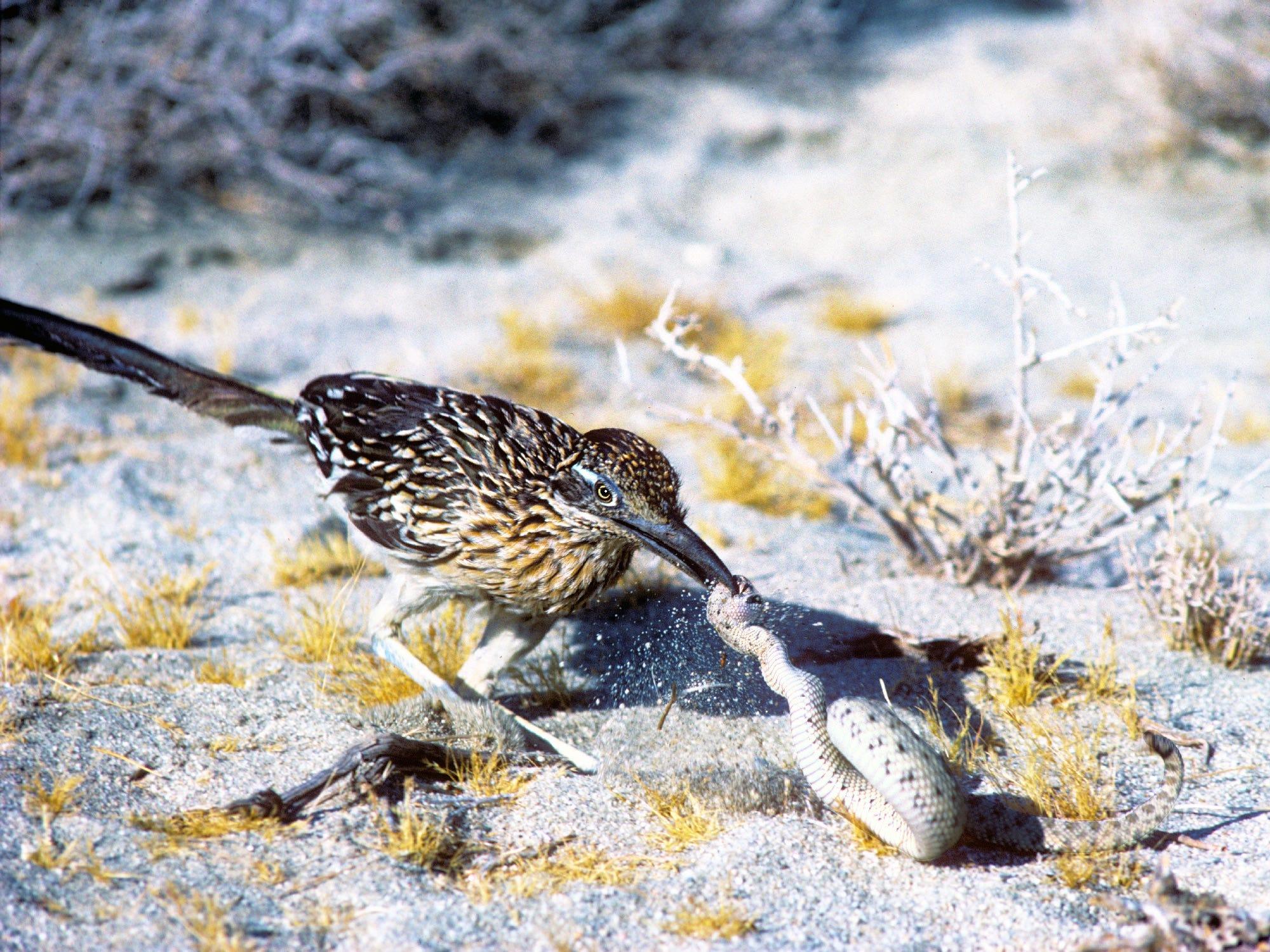 Roadrunner attacks sidewinder rattlesnake