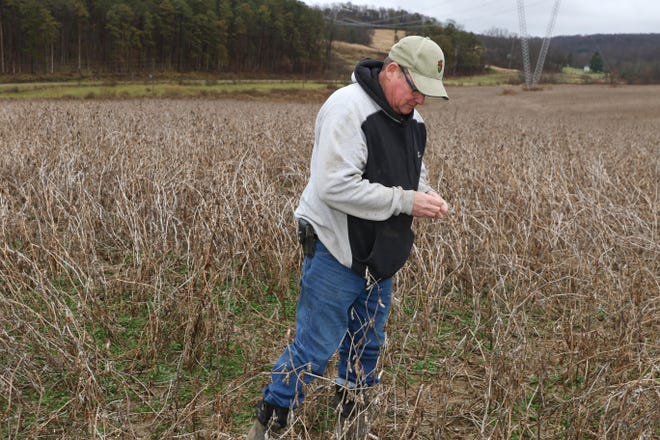 Tom Graham looks at soybeans in his field in eastern Licking County. The wet weather has prevented Graham from being able to harvest all his crops.