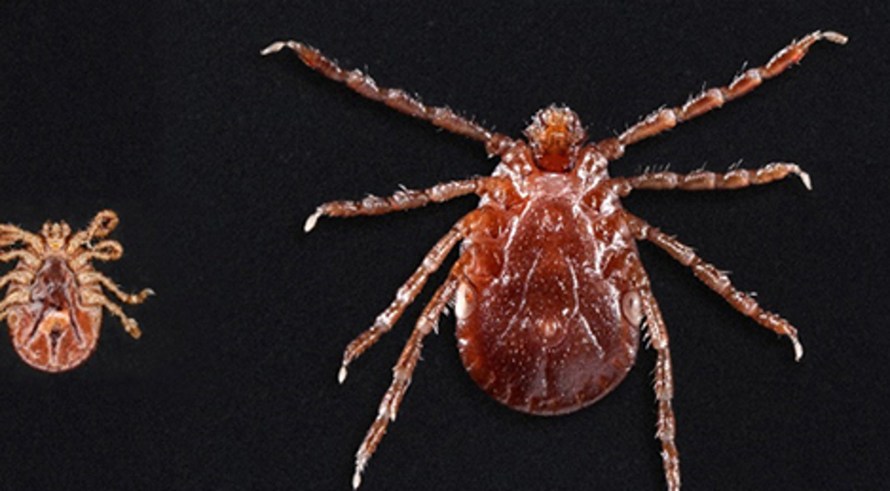 cdc asian longhorned ticks spreading across us may spread diseases