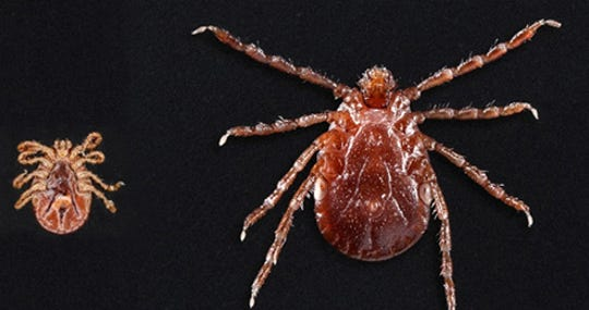 Asian longhorned ticks have been found on pets, livestock, wildlife and people.