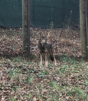 The WNC Nature Center recently welcomed a pair of red wolves, Karma and Garnet, seen here. Red wolves are among the most endangered species in the world.
