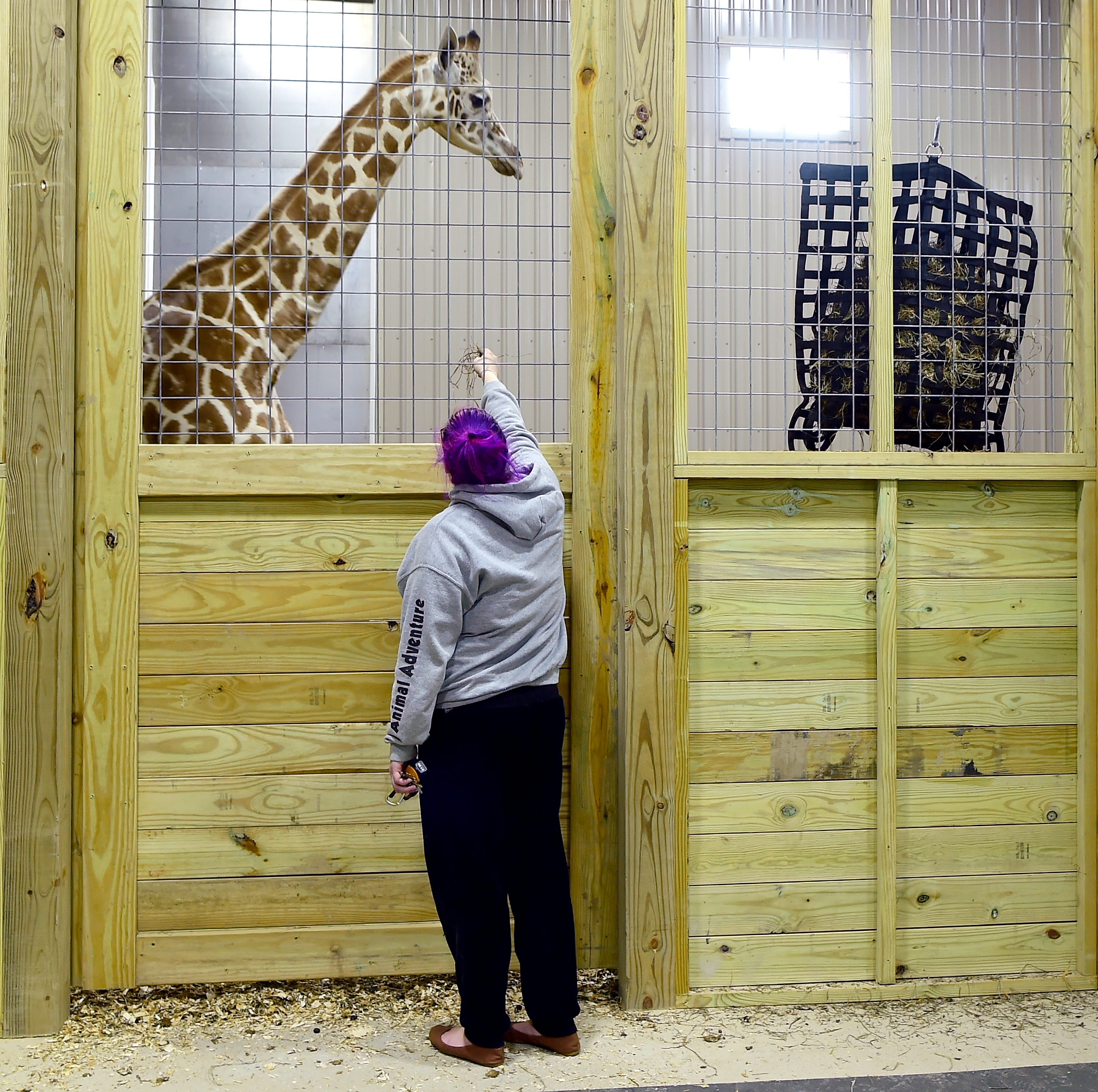Carly Burke, guest services manager at Animal Adventure Park in Harpursville, attempts to interact with Tajiri on Dec. 4. April The Giraffe's son was recently moved into a new barn at Animal Adventure Park.
