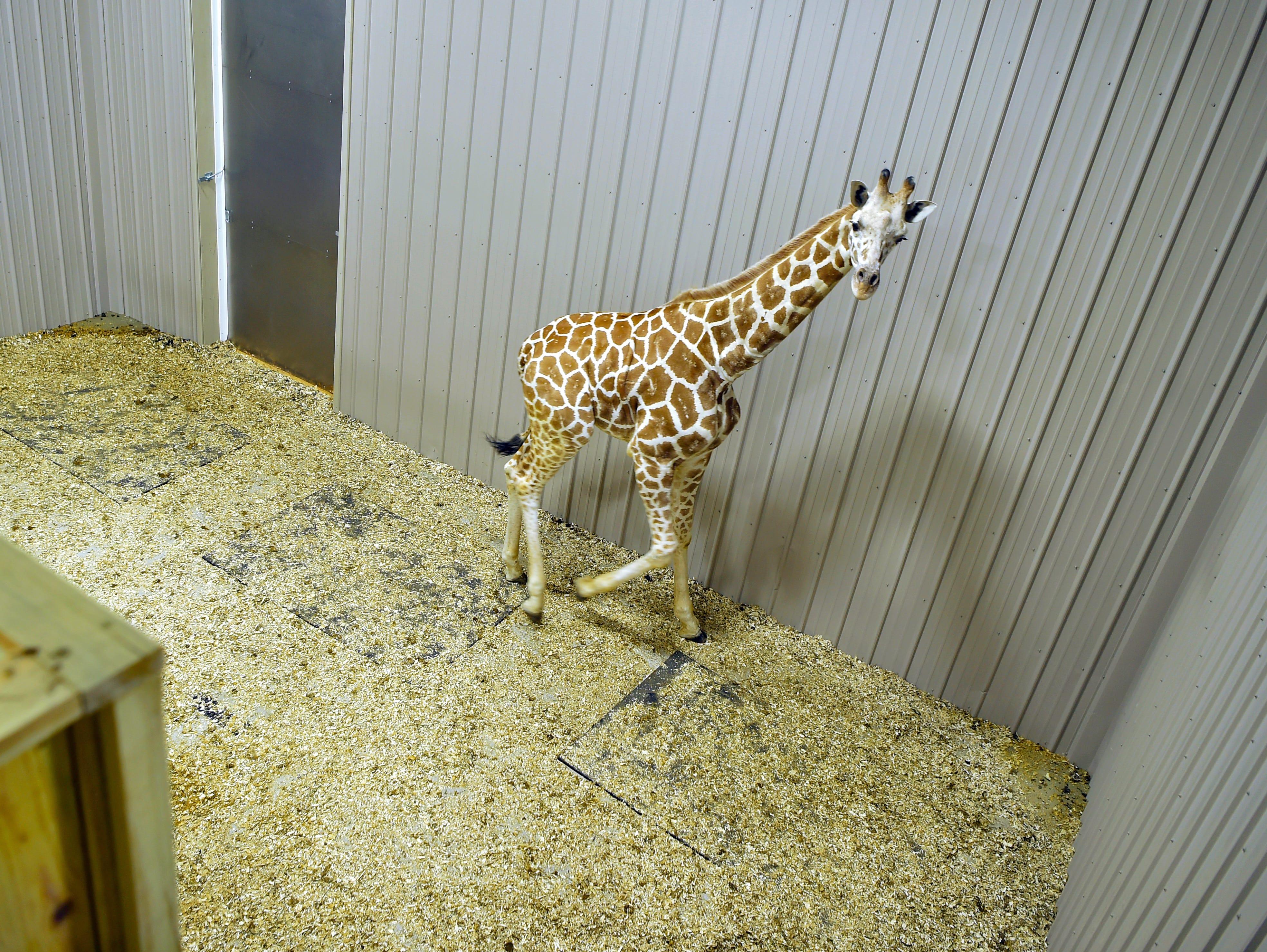 April The Giraffe's son Tajiri was recently moved into a new barn at Animal Adventure Park in Harpursville. December 4, 2018.