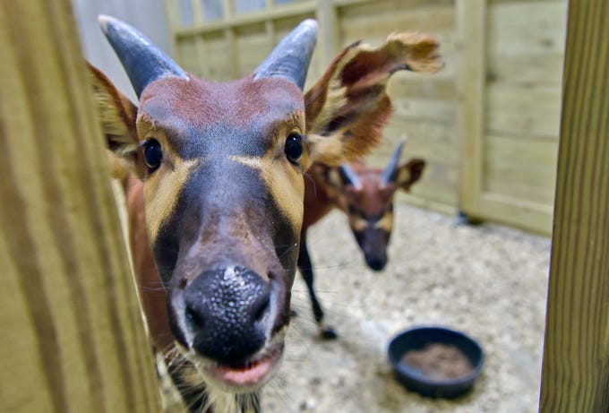 Bongo antelopes are housed in the same barn, but in a separate room, as Tajiri, son of April the Giraffe. Tajiri was recently moved into a new barn at Animal Adventure Park in Harpursville. December 4, 2018.