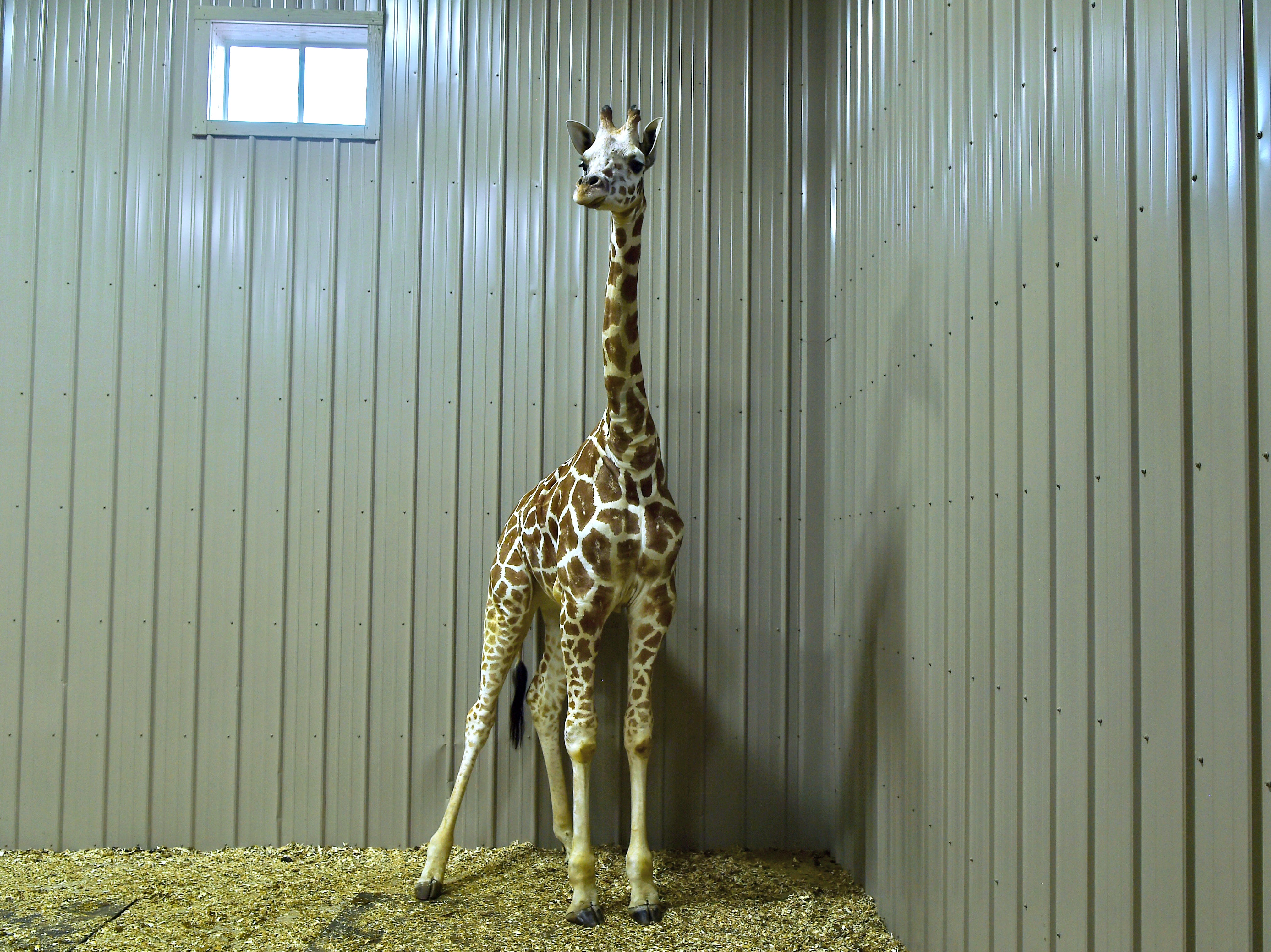 April The Giraffe's son Tajiri was recently moved into a new barn at Animal Adventure Park in Harpursville.