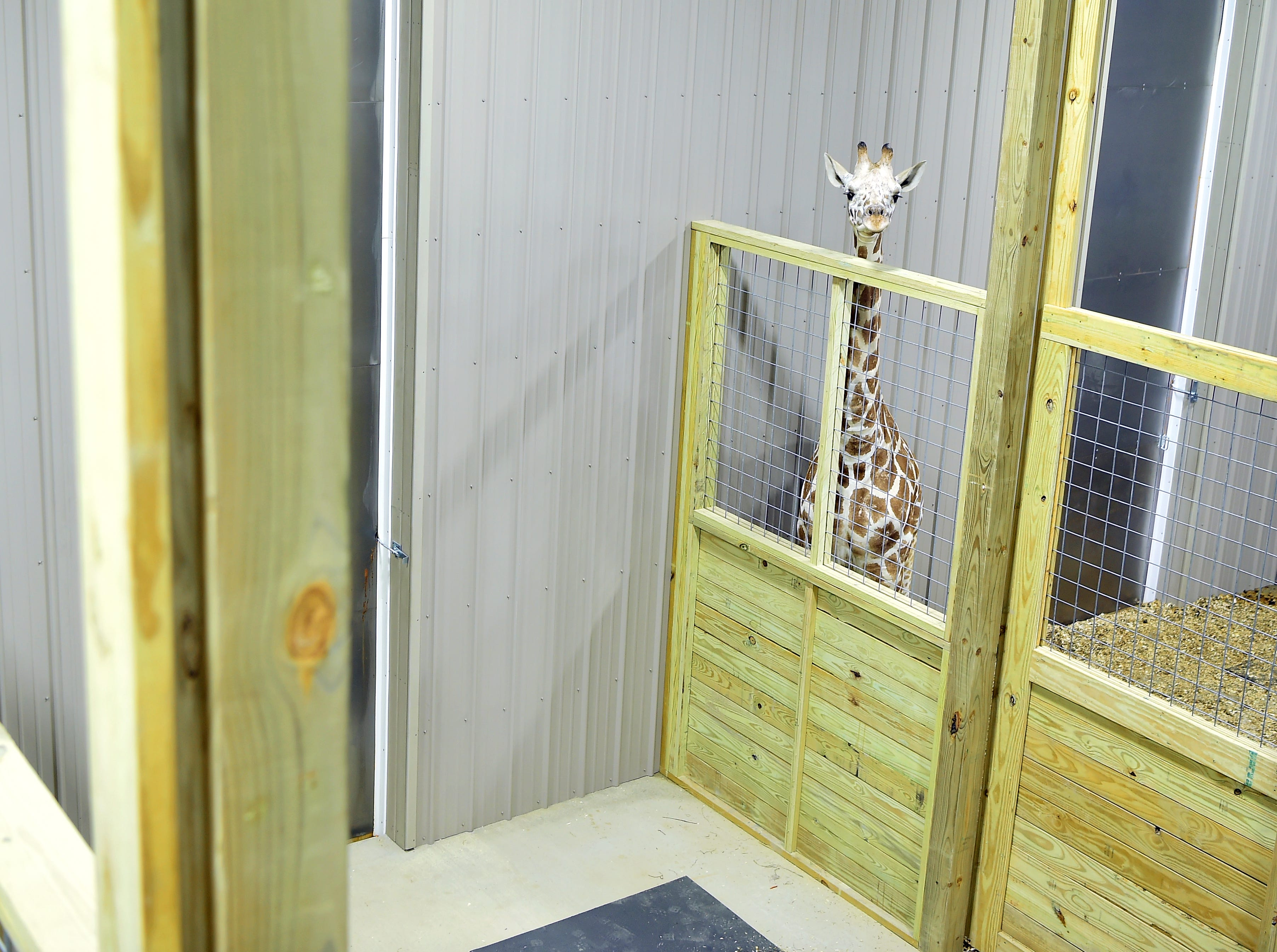 April The Giraffe's son Tajiri was recently moved into a new barn at Animal Adventure Park in Harpursville. December 4, 2018.