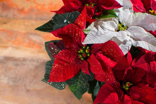 For an elegant touch, add poinsettias to your décor, available at your local Busch's Fresh Food Market.