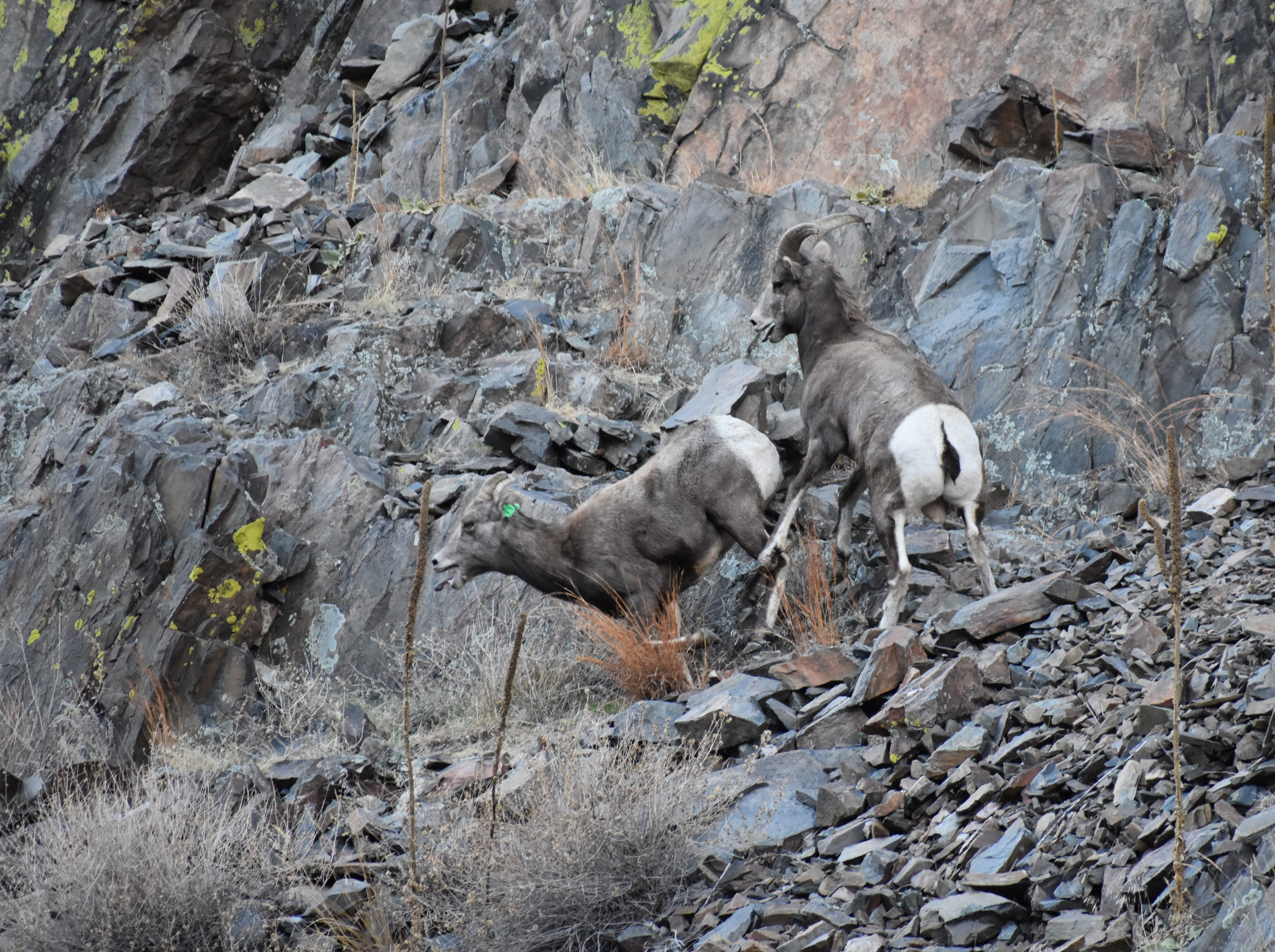 A young bighorn ram chases a ewe in an attempt to breed her near the mouth of the Big Thompson Canyon.