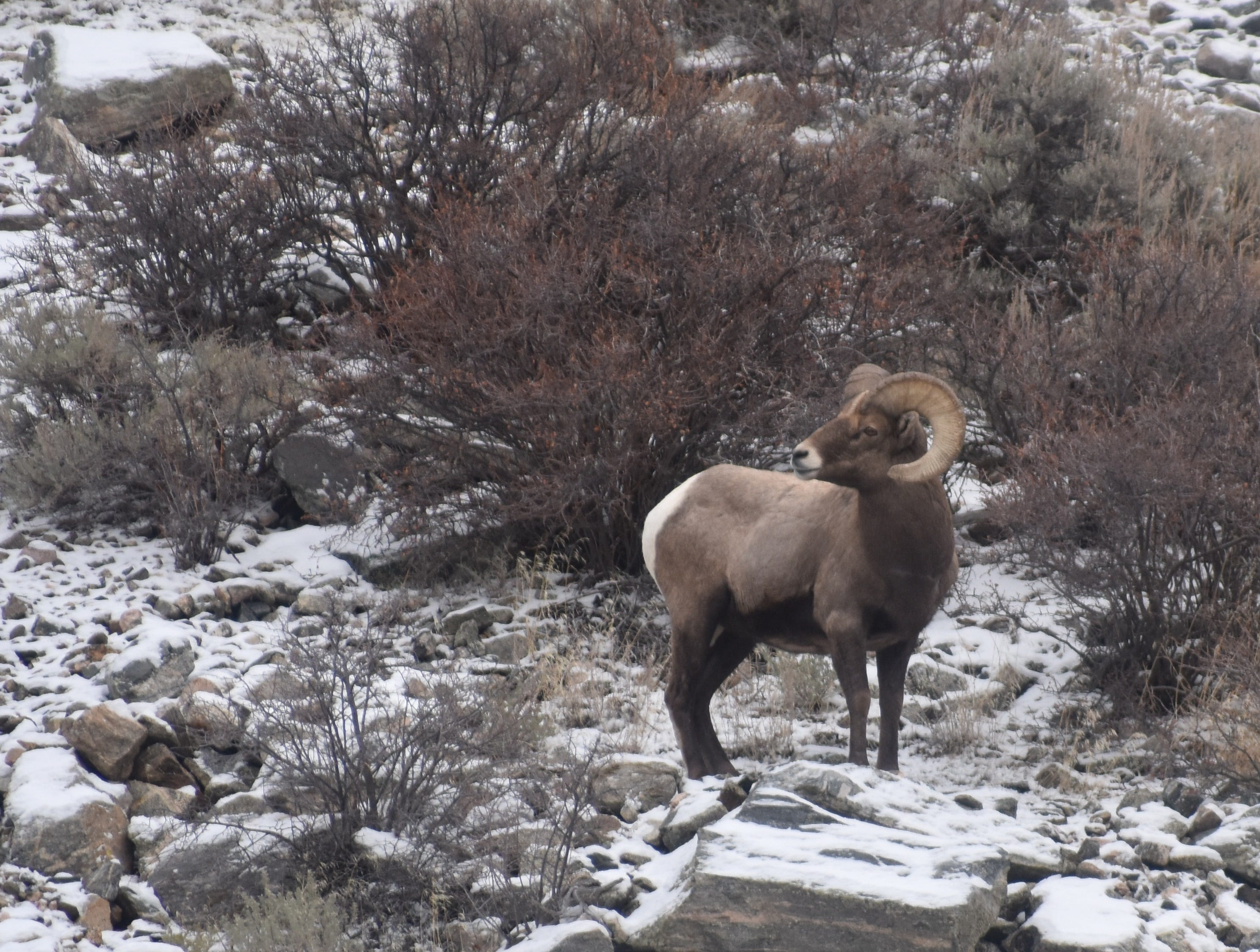 The bighorn sheep was designated the Colorado state animal in 1961.