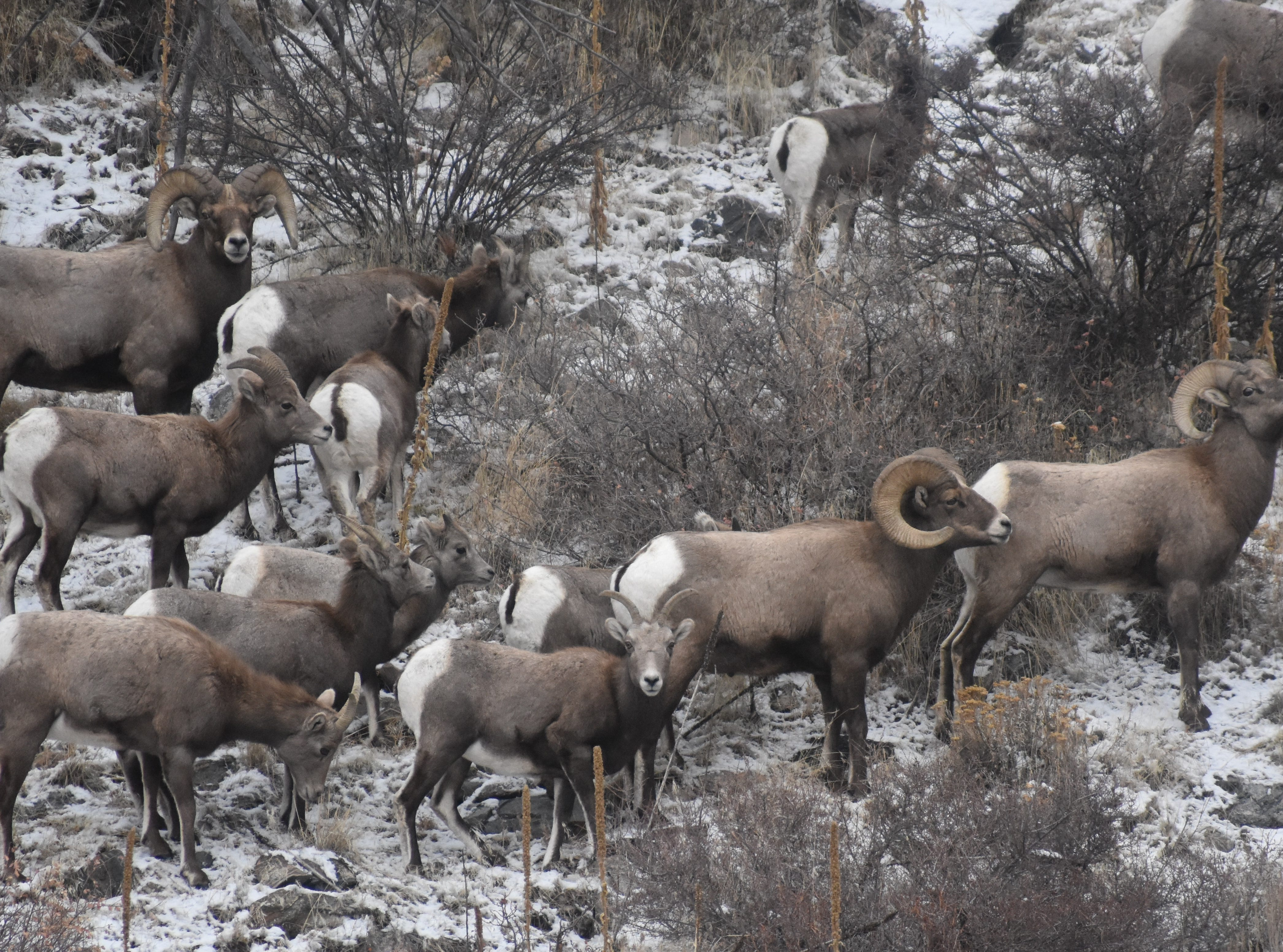 A herd of bighorn sheep roam the mountainside near Big Bend Campground in the Poudre Canyon.