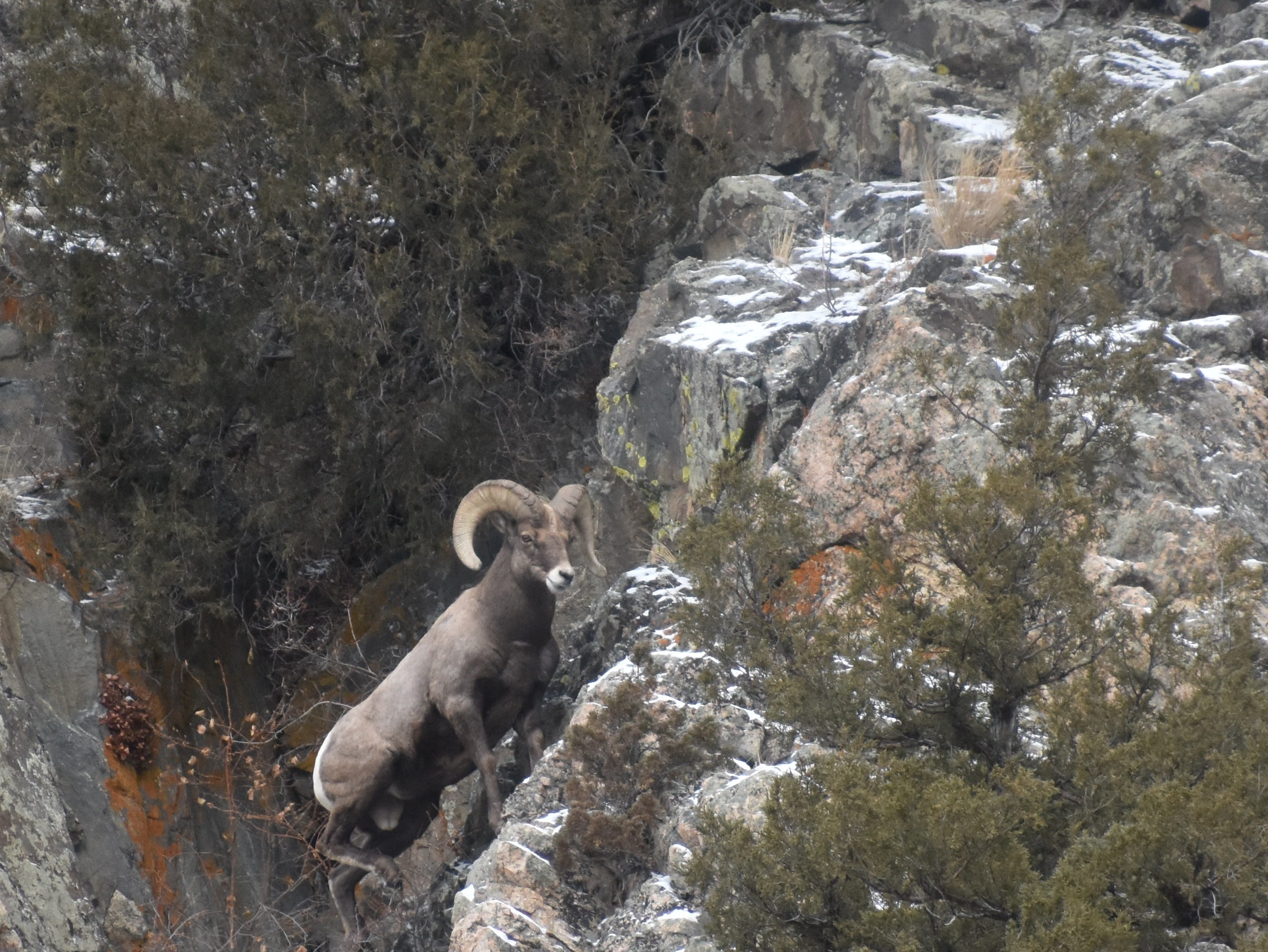 A bighorn ram climbs up the side of the mountain above Big Bend Campground in the Poudre Canyon.
