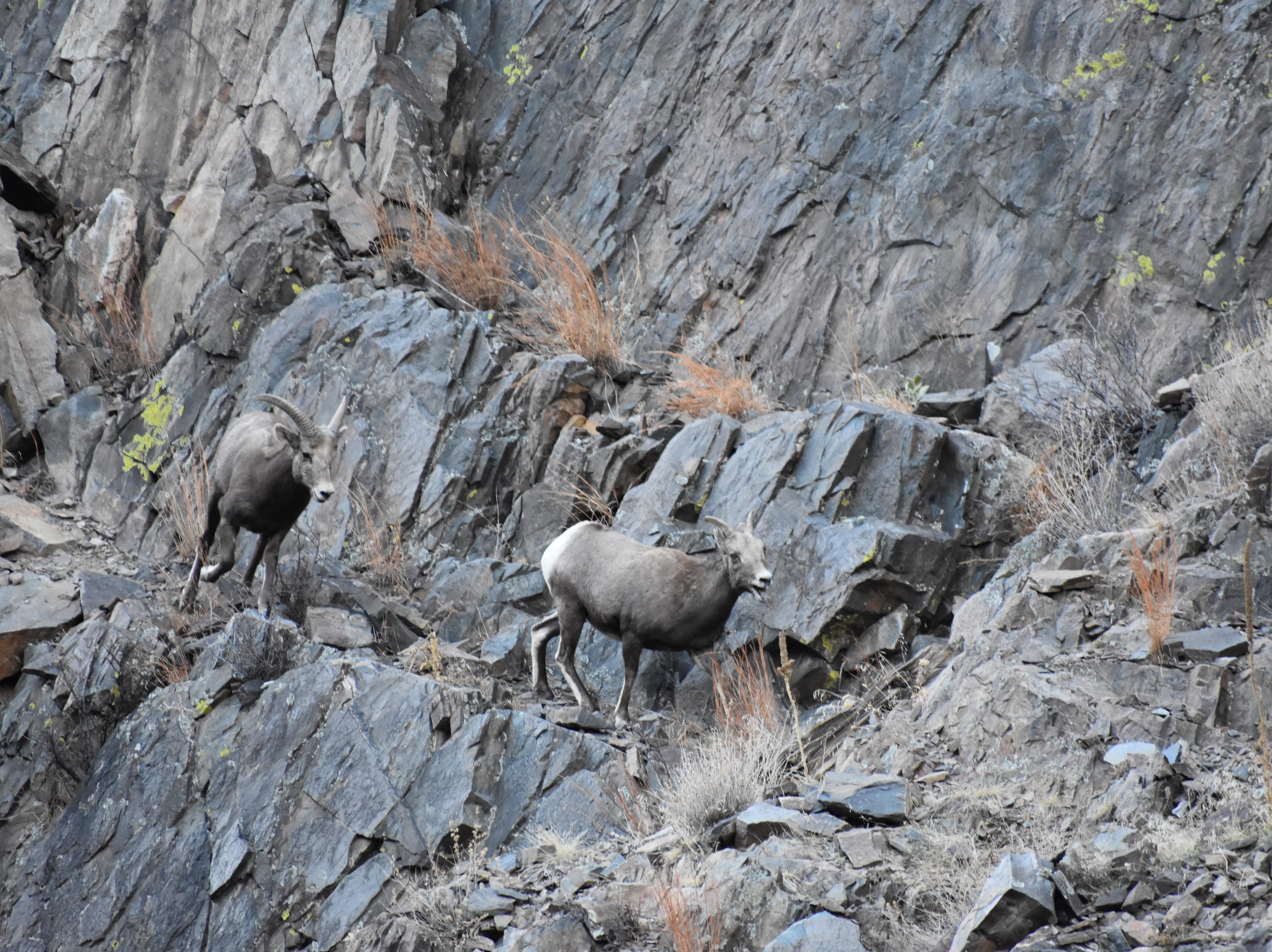 A young bighorn ram chases a tired ewe on a cliff face near the mouth of the Big Thompson Canyon.