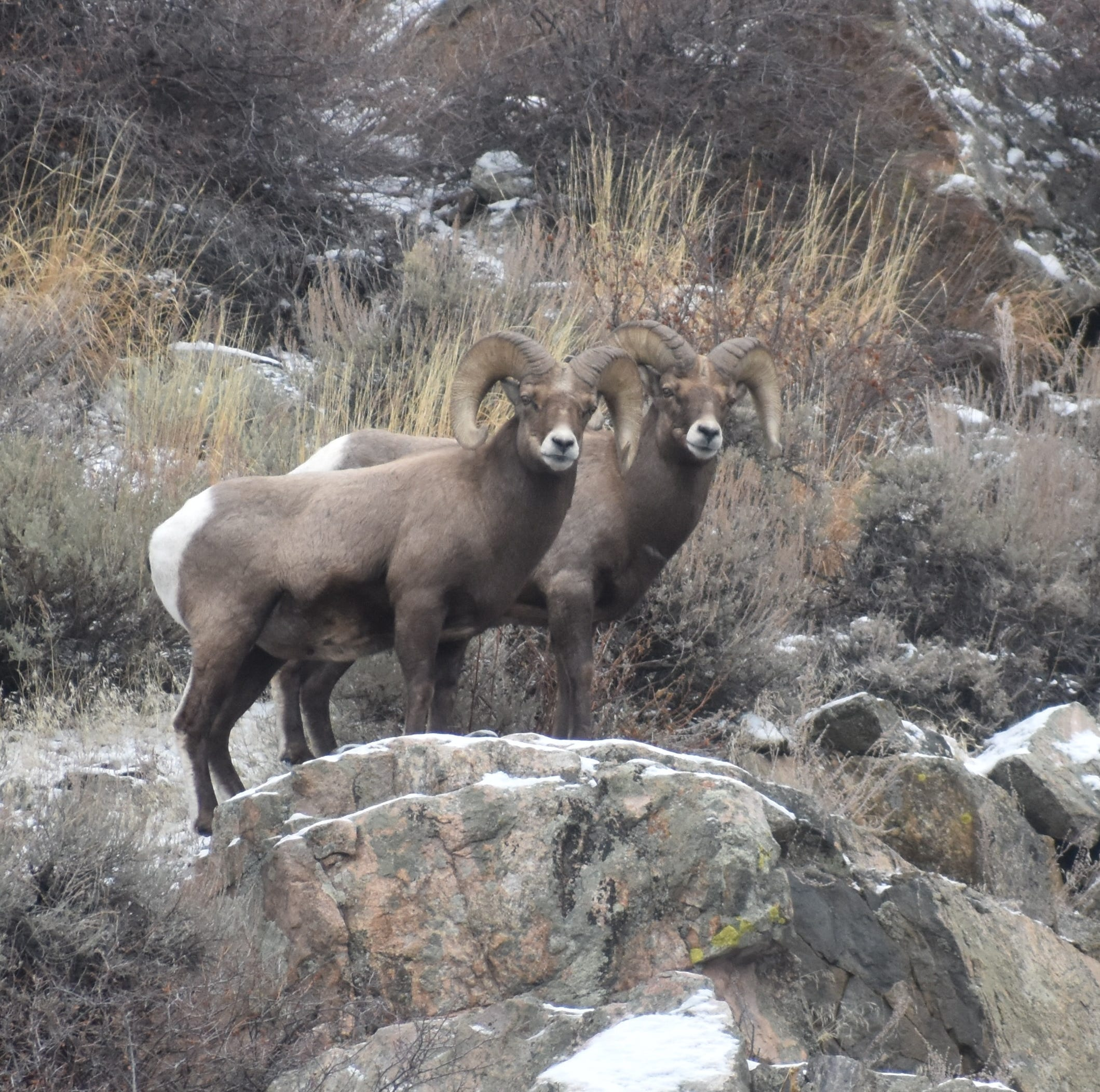 Here's everything you need to know to find bighorn sheep in Northern Colorado