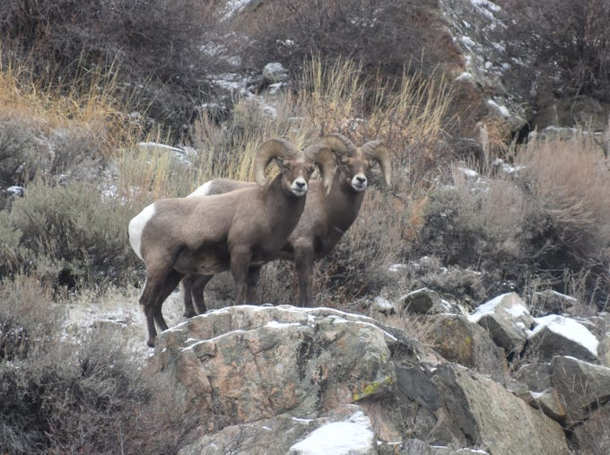 Two bighorn sheep look down from their high perch above Colorado Highway 14 in the Poudre Canyon. The sheep can be found in winter mainly from Rustic west to Big Bend Campground as well as near the mouth of the Big Thompson Canyon.