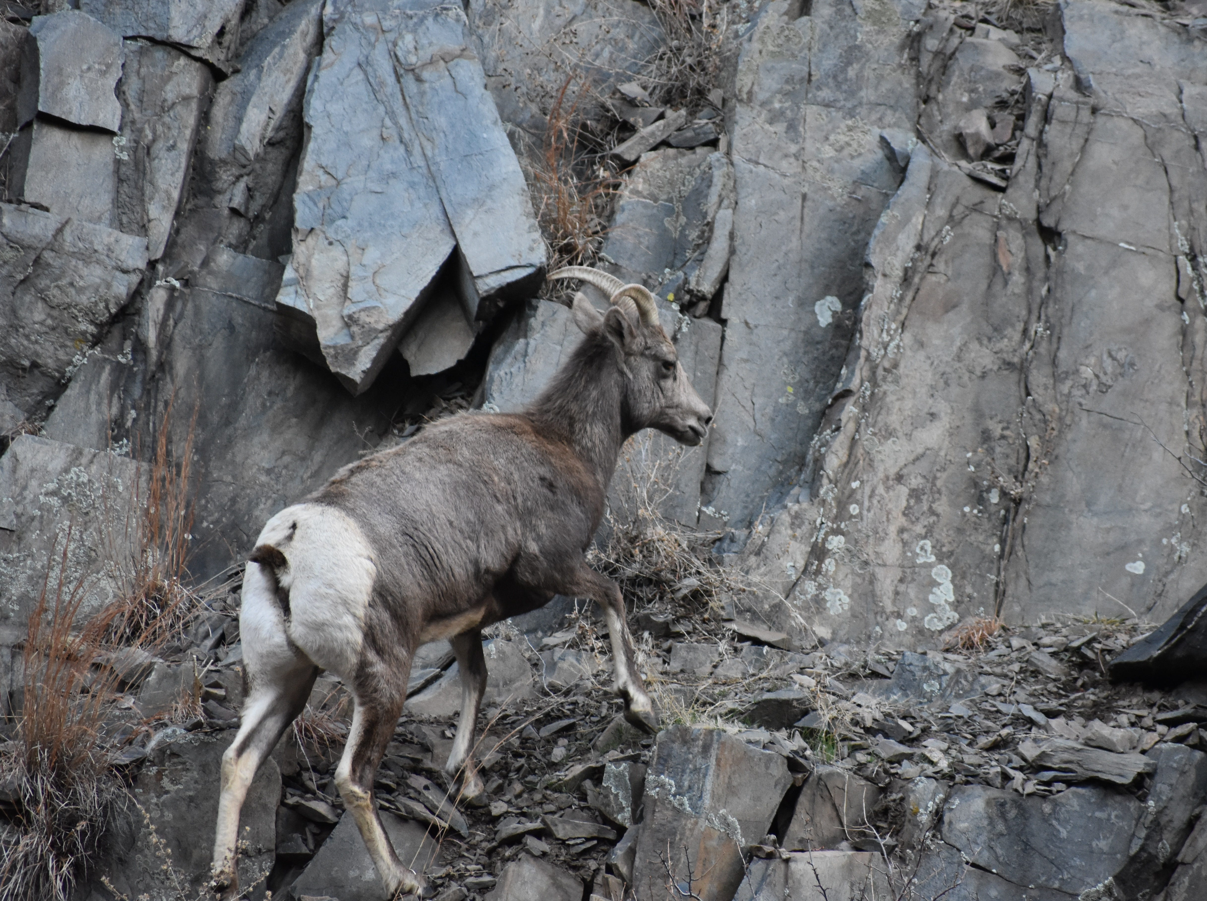 Male and female bighorn sheep have horns. Females have shorter horns that are not as curved. Horns are found on sheep, are not branched and aren't shed. Antlers are found on elk and deer, are branched and are shed annually.