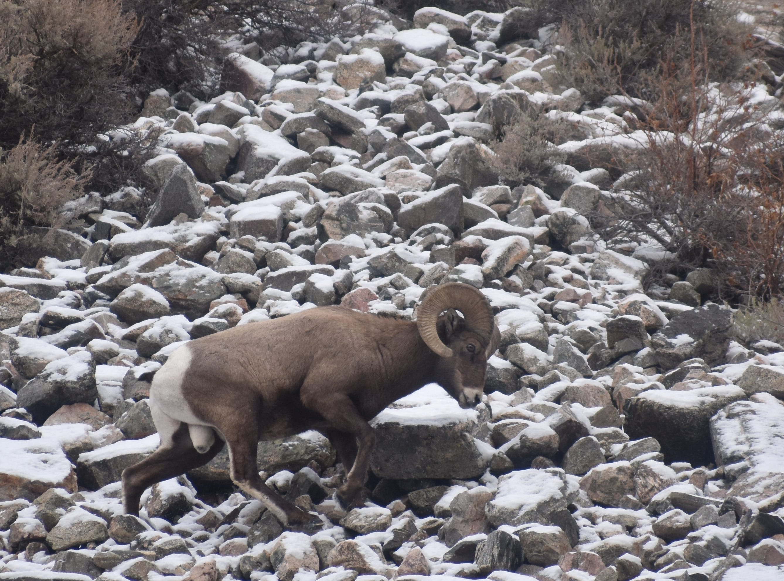 A bighorn ram walks across a snowy talus slope above Big Bend Campground.
