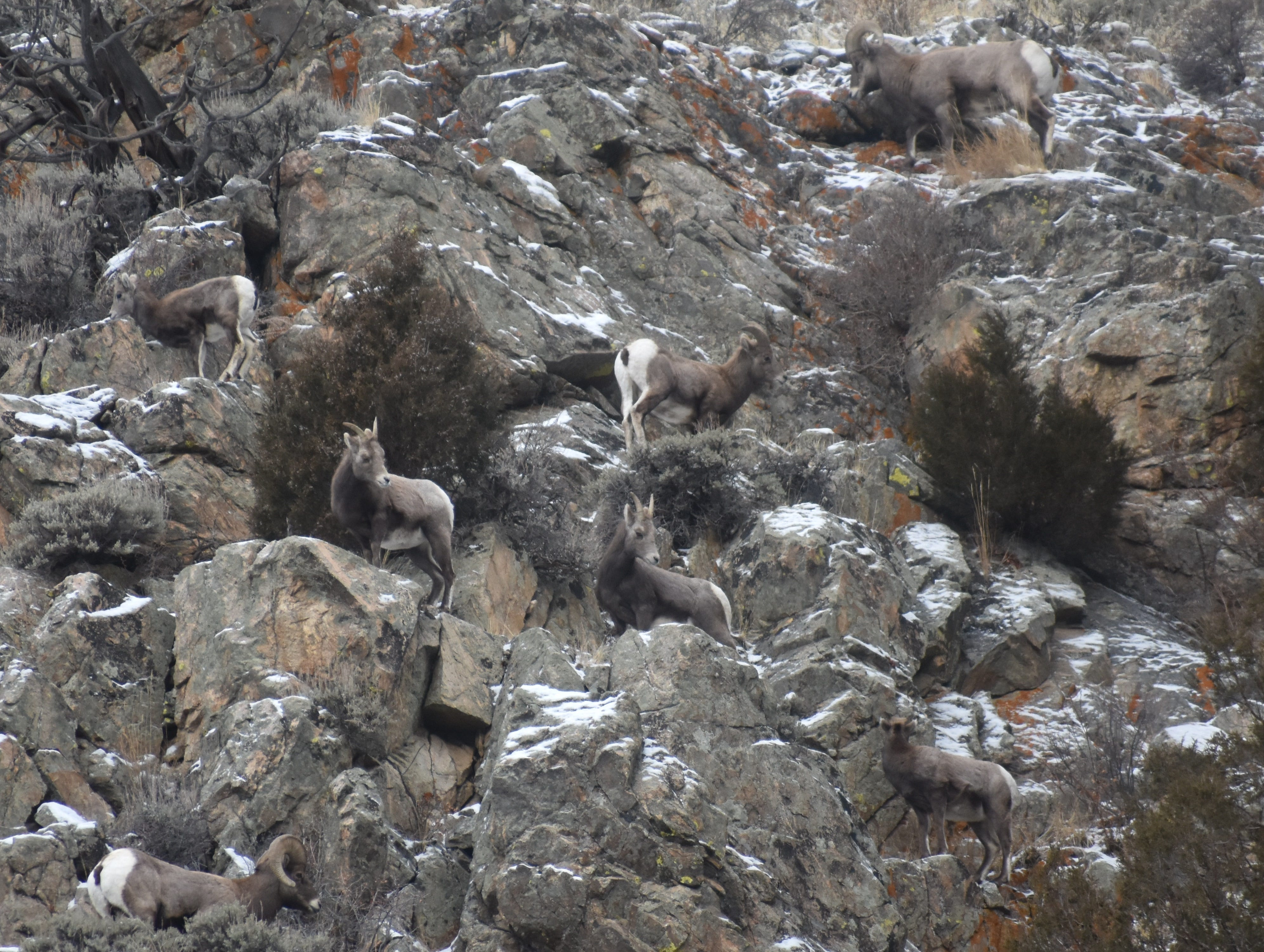 Bighorn sheep can nearly always be found on south-facing slopes in winter, where they have access to grass.